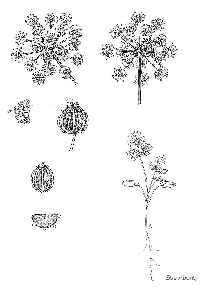 Poisonous Hemlock - Conium maculatum - details by Sue Abonyi