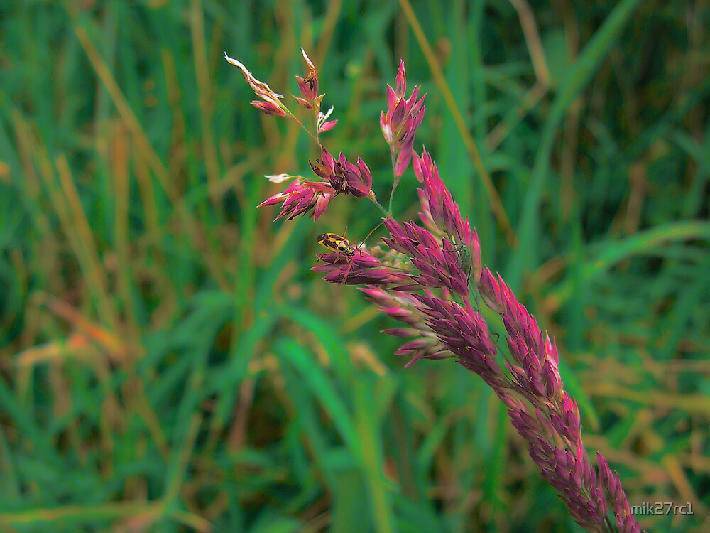grass reed by mik27rc1