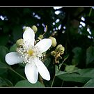 In Full Bloom by Carlo Cesar Rodillas