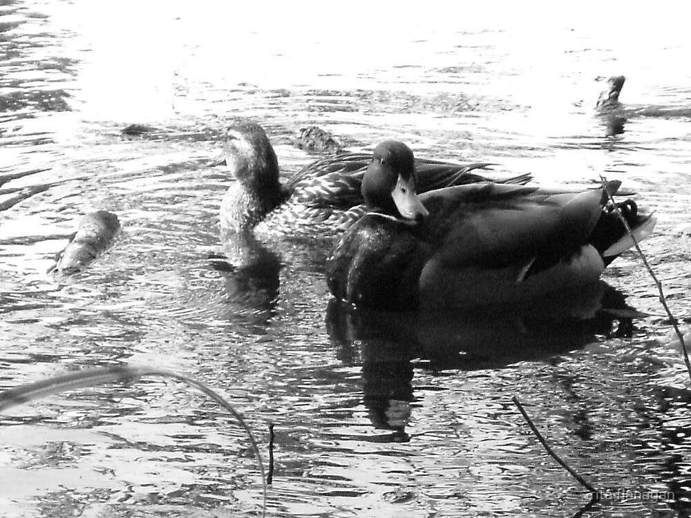 black n white duck by rita flanagan