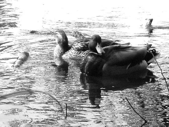 black n white duck by rita flanagan
