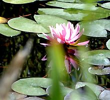 pink lilly reflection by Betsy