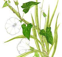 Rutland Beauty - Calystegia sepium by Sue Abonyi