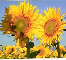 Sunflowers by nesna