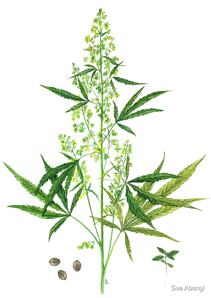 Hemp - Cannabis sativa by Sue Abonyi
