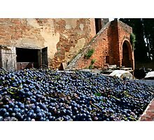 Grape harvest Photographic Print