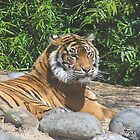 Reclining Tiger by Chris Hanlon