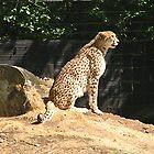Cheetah Surveying the Prairie by Chris Hanlon