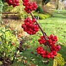 Red Berries by hootonles