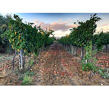 Vineyard in Tuscany Photographic Print