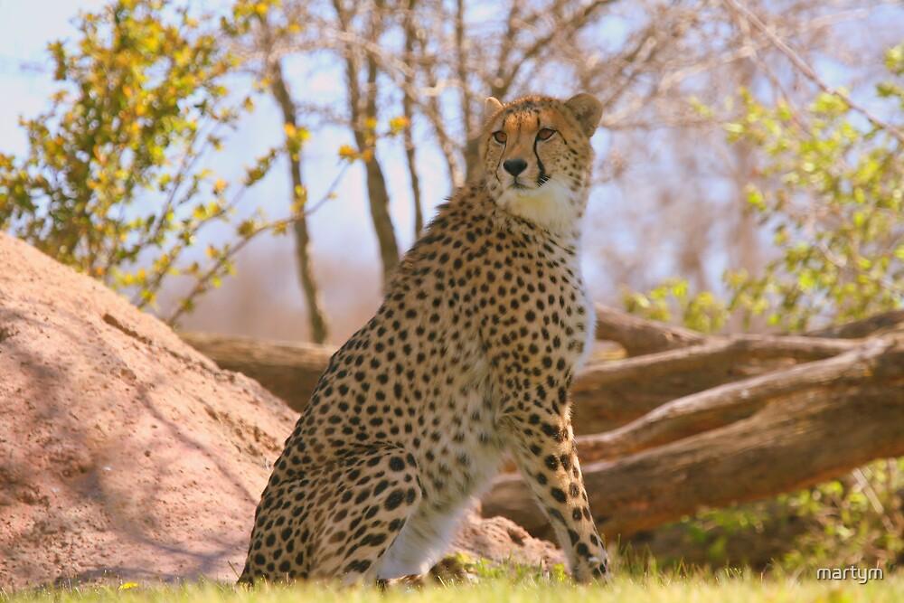 cheetah by martym