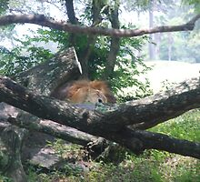 Lazy Lion by guffa