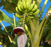banana tree by Emma Fitzgerald