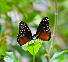 Butterflies in Love by RickKramer