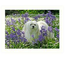 Snowdrop the Maltese -  in the Bluebell Woods Art Print