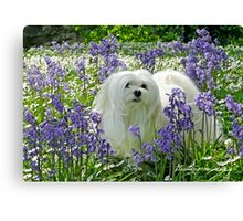 Snowdrop the Maltese -  in the Bluebell Woods Canvas Print