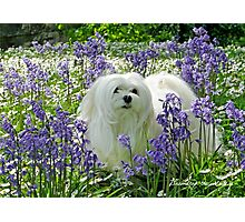 Snowdrop the Maltese -  in the Bluebell Woods Photographic Print