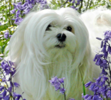 Snowdrop the Maltese -  in the Bluebell Woods Sticker