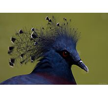 Crowned Pigeon 1 Photographic Print