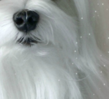 Snowdrop the Maltese - The Light in my Life ! Sticker