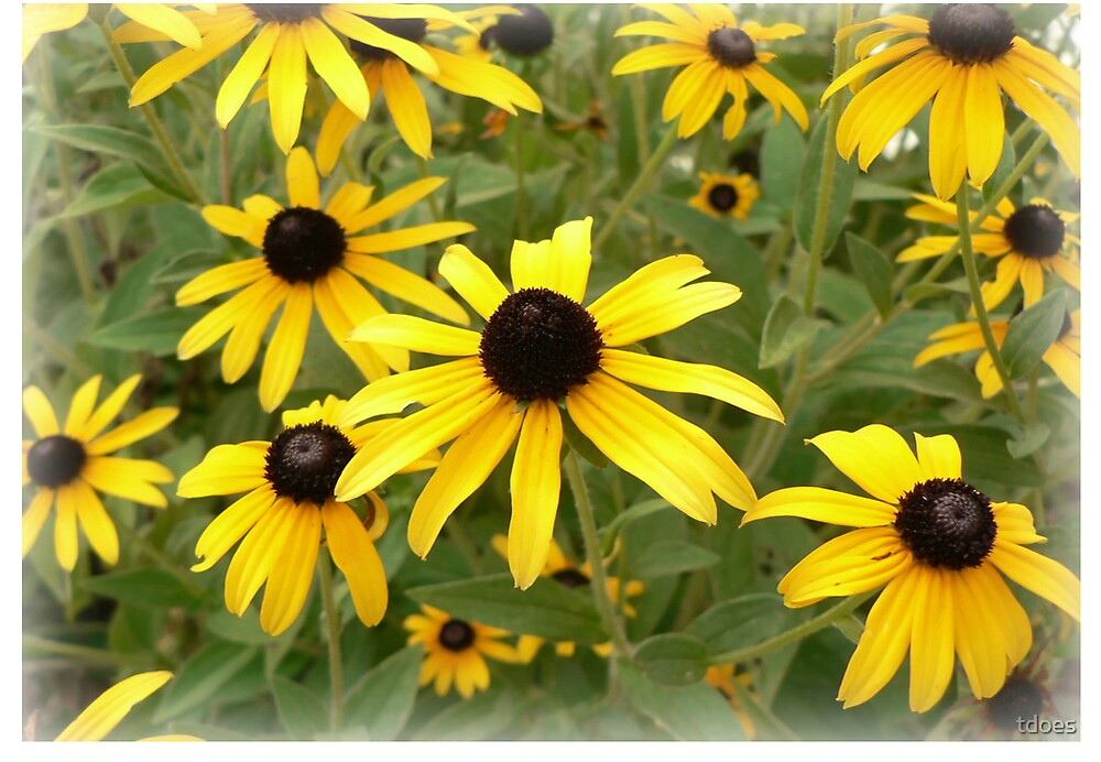 Black Eyed Susan greeting card by tdoes