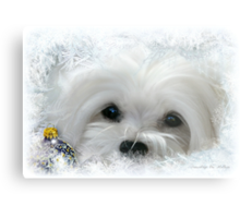 Snowdrop the Maltese of the Frozen North ! Metal Print