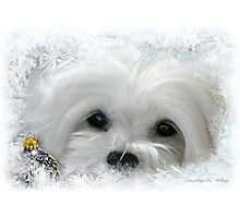 Snowdrop the Maltese of the Frozen North ! Photographic Print