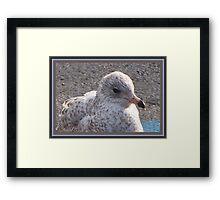 Freckled Gull Framed Print