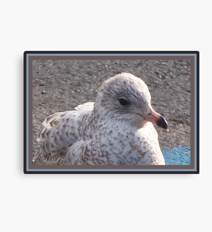 Freckled Gull Canvas Print