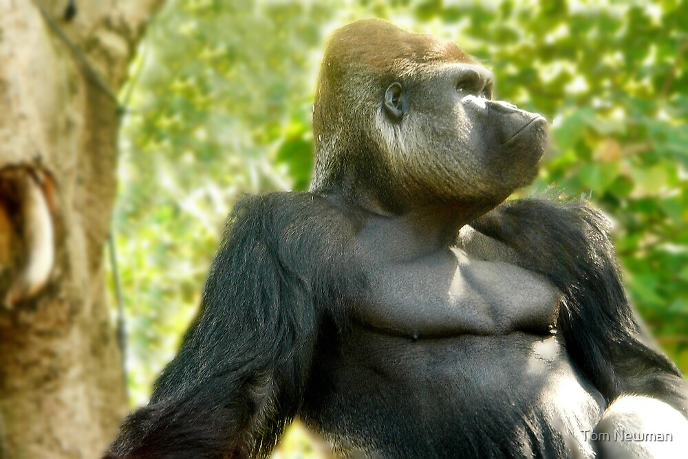 Silverback by Tom Newman