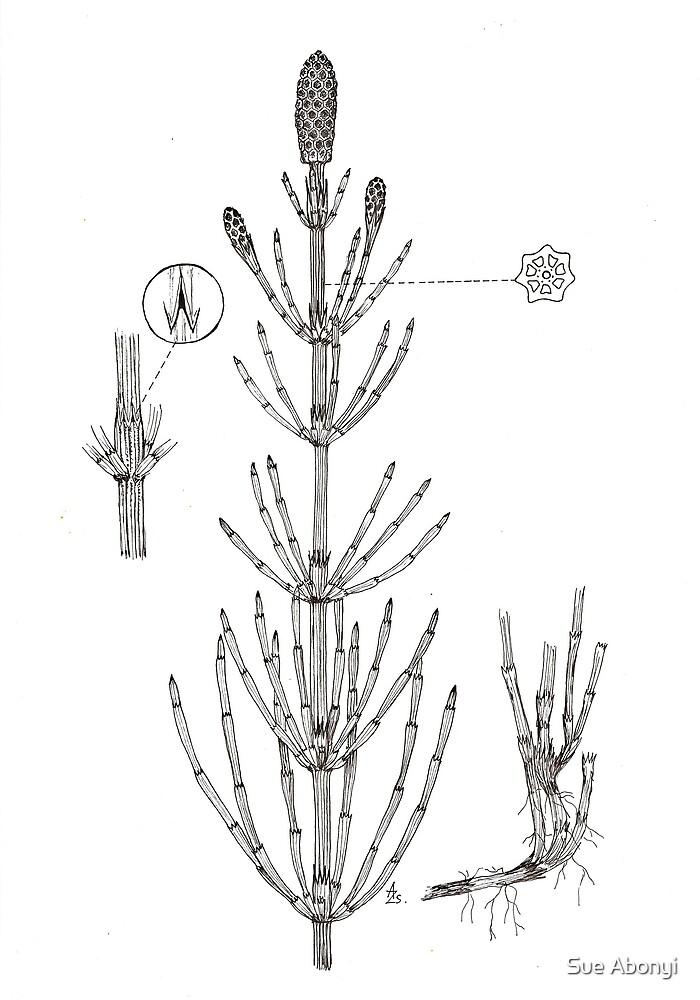 Equisetum palustre by Sue Abonyi