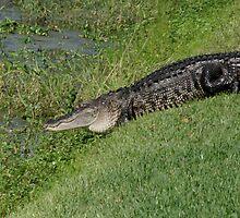 Alligator by Sam Hanie