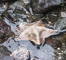 Star Fish by wickwire
