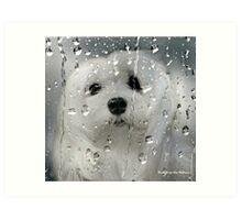 Snowdrop the Maltese - Spring Showers Art Print