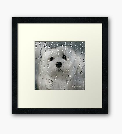 Snowdrop the Maltese - Spring Showers Framed Print