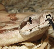 Hypomelanistic Boa Constrictor imperator with tongue by Adam Mattel