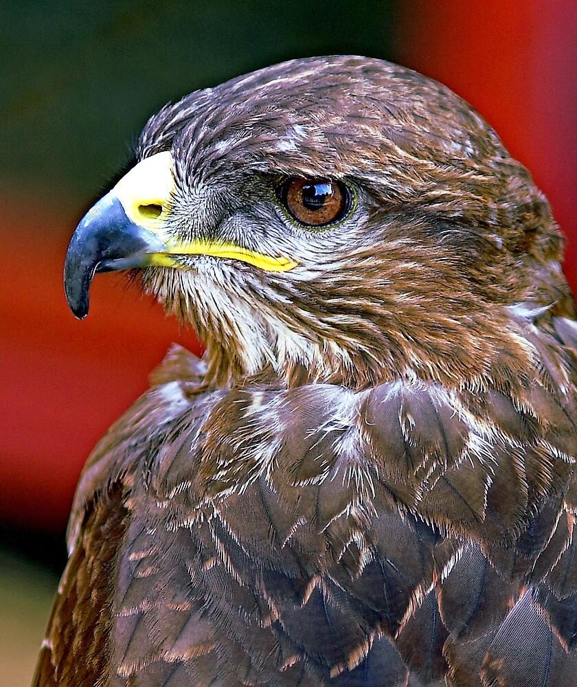 Harris Hawk by kitlew