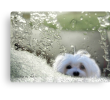 Snowdrop the Maltese - Please May I Come In ? Metal Print