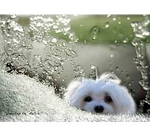 Snowdrop the Maltese - Please May I Come In ? Photographic Print