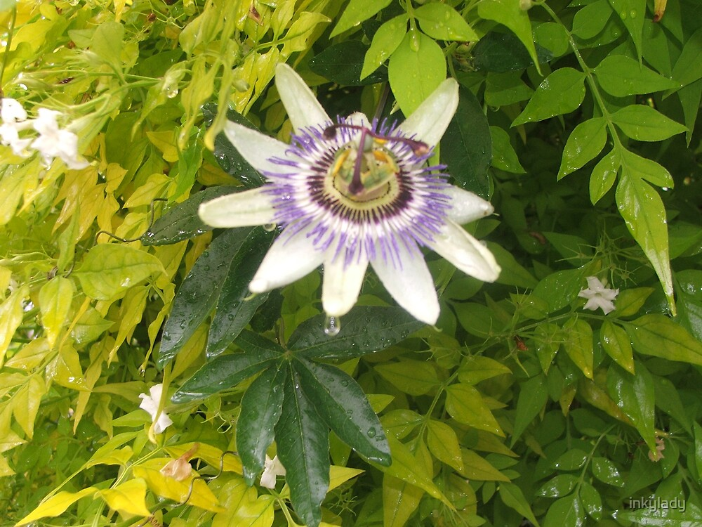 passion flower by inkylady
