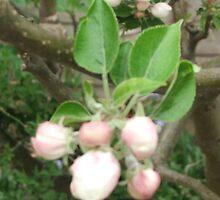 apple blossom buds by inkylady