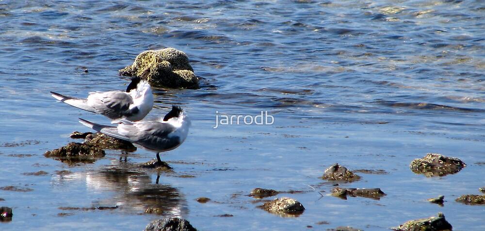 Terns, Indented Head by jarrodb