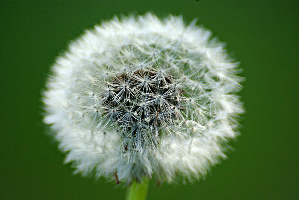 dandelion by Robert Kiesskalt