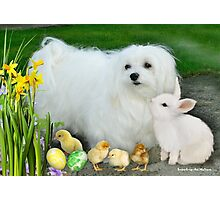 Snowdrop the Maltese at Easter Photographic Print