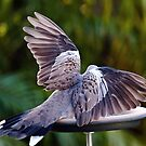 Dove wings of beauty 1010 by kevin chippindall