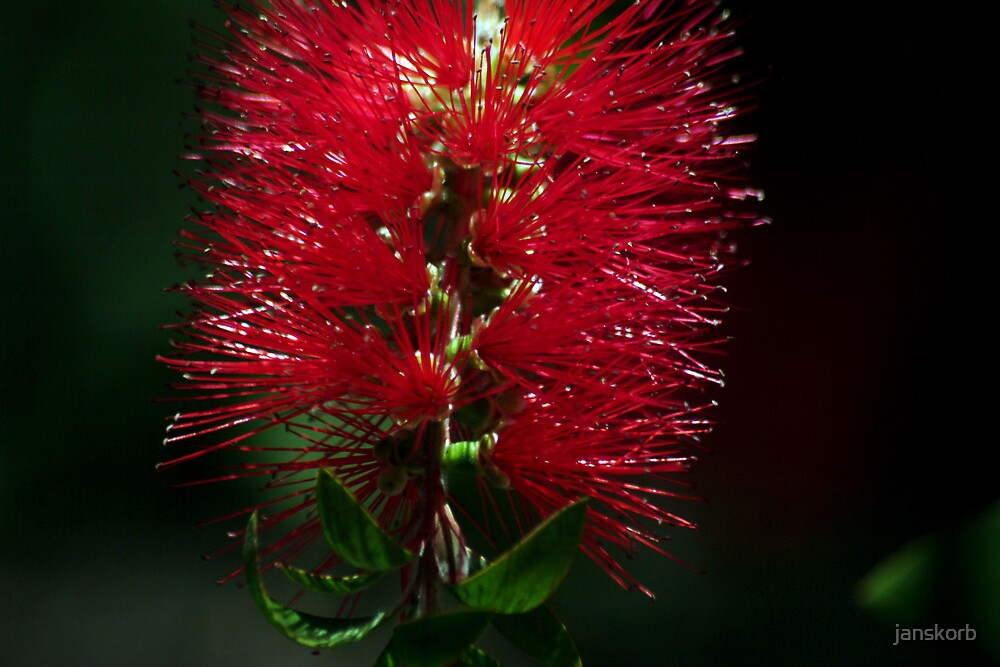 Red Flower by janskorb