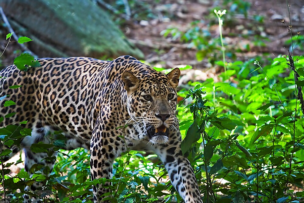 Predator on the Prowl by dhar
