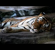 tiger 02 by Kittin