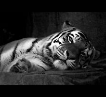 tiger 03 by Kittin