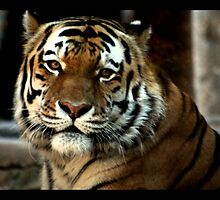 tiger 04 by Kittin